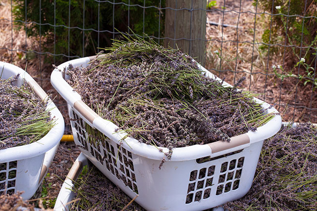 Harvested lavender at the Okanagan Lavender Herb Farm