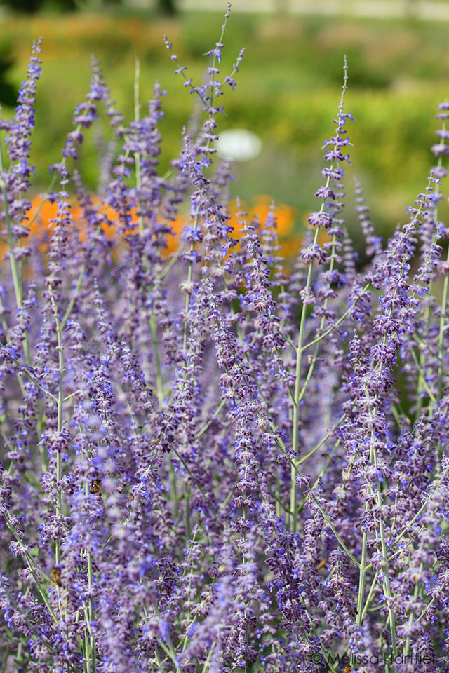 The FBC Spice Box: Getting to Know Lavender | Food Bloggers of Canada