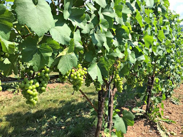 Canadian Wine Spotlight   Benjamin Bridge Winery