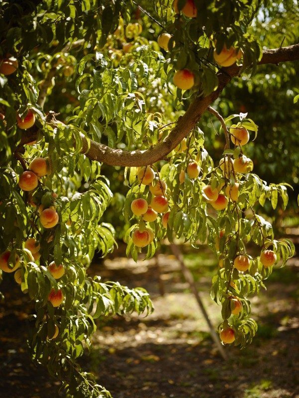 __California Peach Orchard