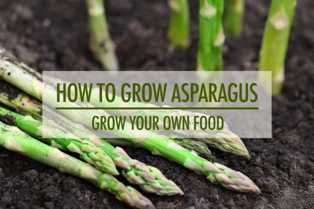 How To Grow Asparagus | Food Bloggers of Canada