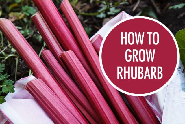 How to Grow Rhubarb | Food Bloggers of Canada