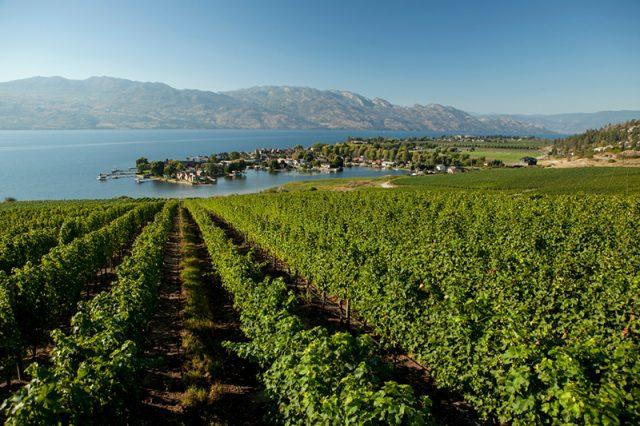Okanagan Vineyards along the lake