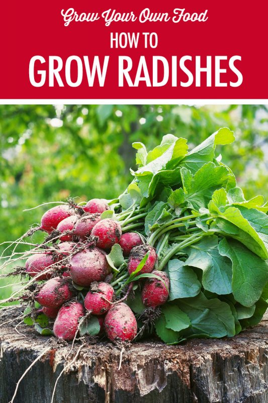 How to Grow Radishes and Horseradish | Food Bloggers of Canada