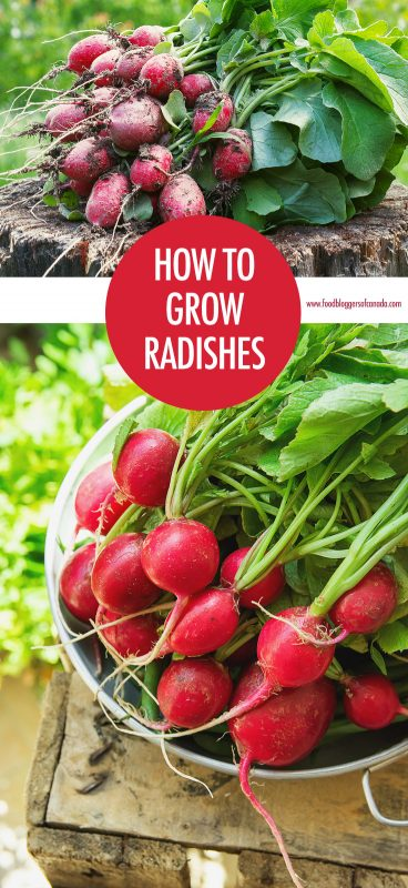 How to Grow Radishes | Food Bloggers of Canada
