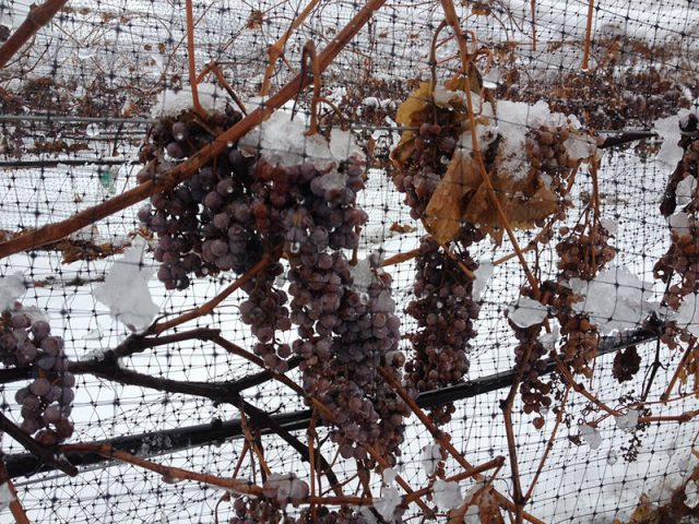 Grapes in winter covered in snow