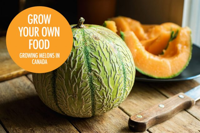 Growing Melons in Canada