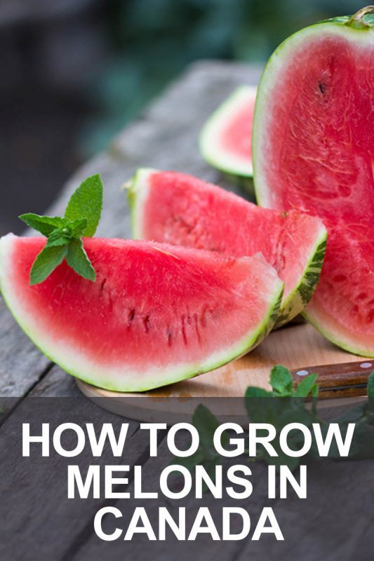 How to Grow Melons in Canada | Food Bloggers of Canada