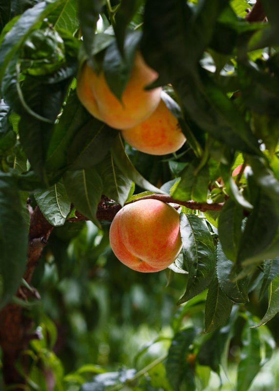 Peaches and peach trees