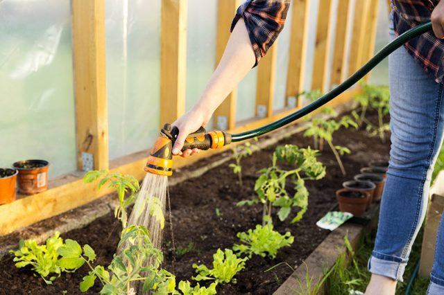 Watering seedlings by hand with a garden hose