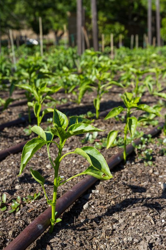 Drip irrigation of bell pepper plants