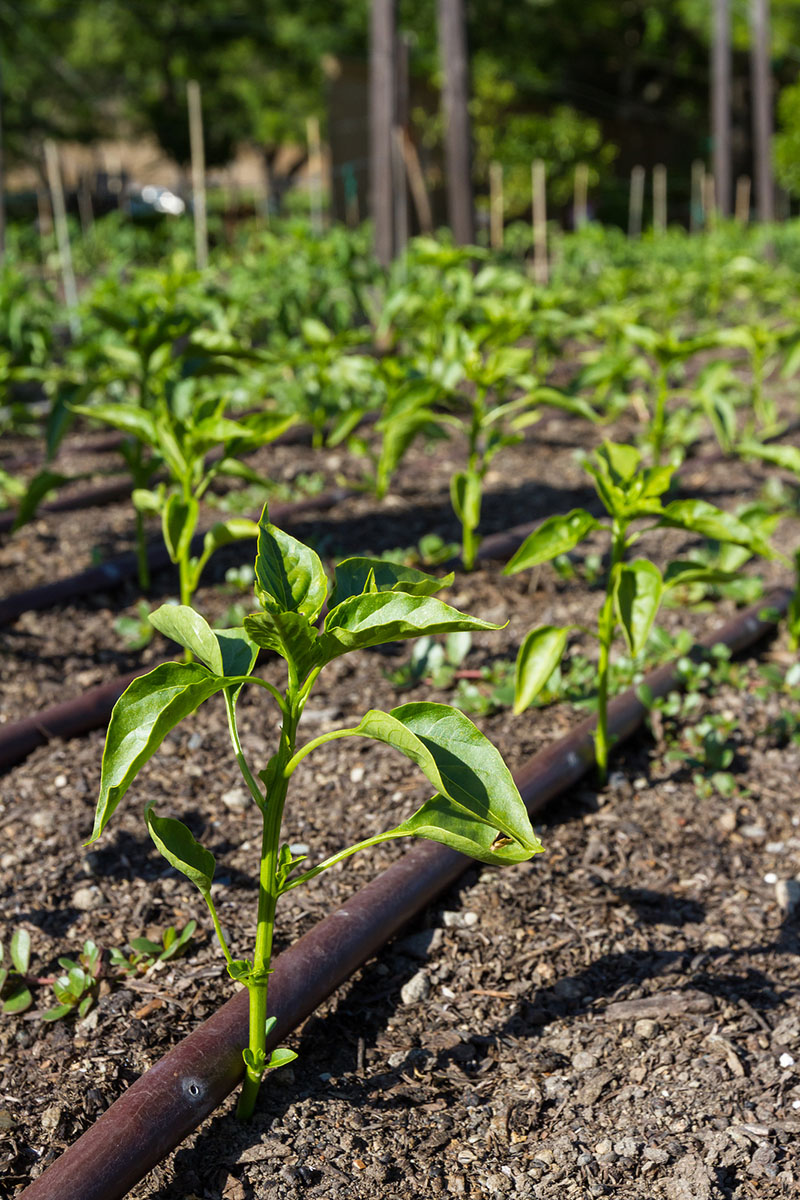 Drip irrigation of bell pepper plants