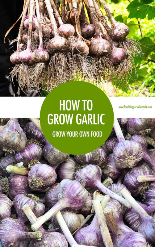 How To Grow Garlic | Food Bloggers of Canada