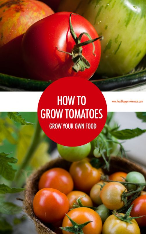 How To Grow Tomatoes in Canada | Food Bloggers of Canada