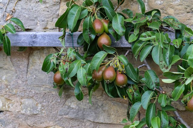Pruning and Espaliering Fruit Trees | Food Bloggers of Canada