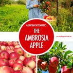 Canadian Tastemaker: The Ambrosia Apple